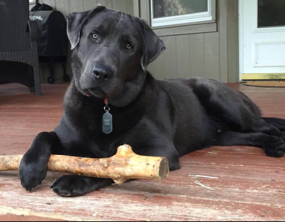 Beautiful Charcoal Labrador