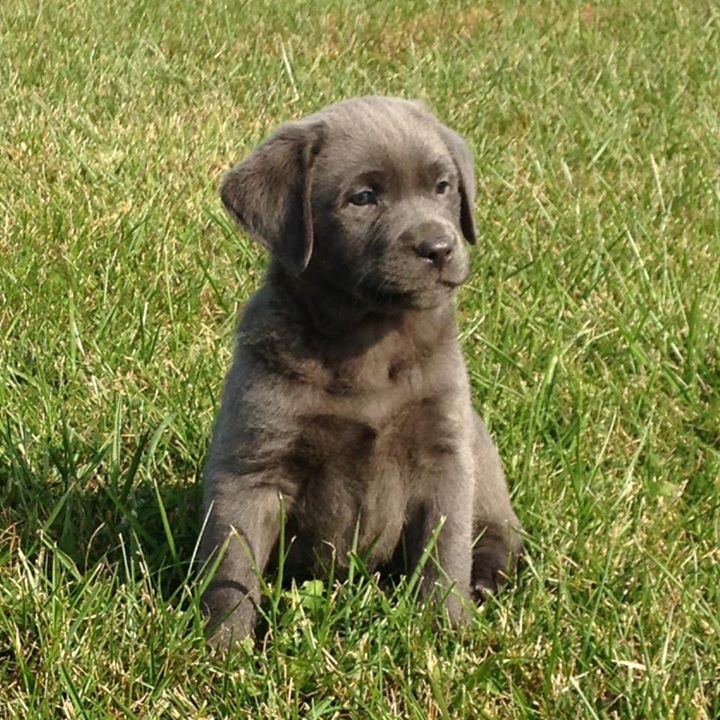 Choosing an AKC Registration Name for your new Silver Labrador Retriever puppy