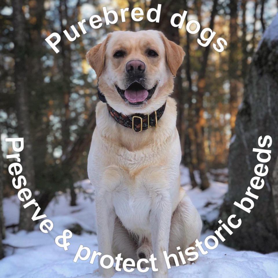 Dilute Genetics Labrador